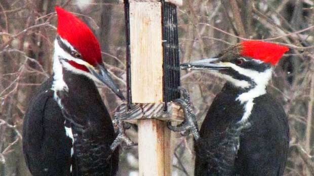 Taken at my bird feeder on our front yard. Photo by Ed & Lena Harder.