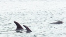 CTV News Channel: Dolphins trapped in N.L. harbour