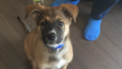 This dog is currently being fostered under Precious Paws in Barrie, Ont.