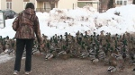 Ursula Cain of Dieppe, N.B., has been feeding a flock of ducks in her yard for 10 years.