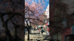 Cherry blossoms line a Victoria street. March 21, 2018. (Astrid Braunschmidt)