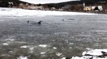Extended: Breaking ice to help free dolphins