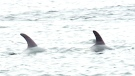 CTV News Channel: Trapped dolphins now free