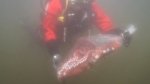 Giant pacific octopus moved back into the ocean