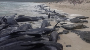 Supplied image of more than 150 short-finned pilot whales who became beached at Hamelin Bay, in Western Australia's south, Friday, March 23, 2018.(WA Department of Biodiversity, Conservation and Attractions, Parks and Wildlife Service/AAP via AP)