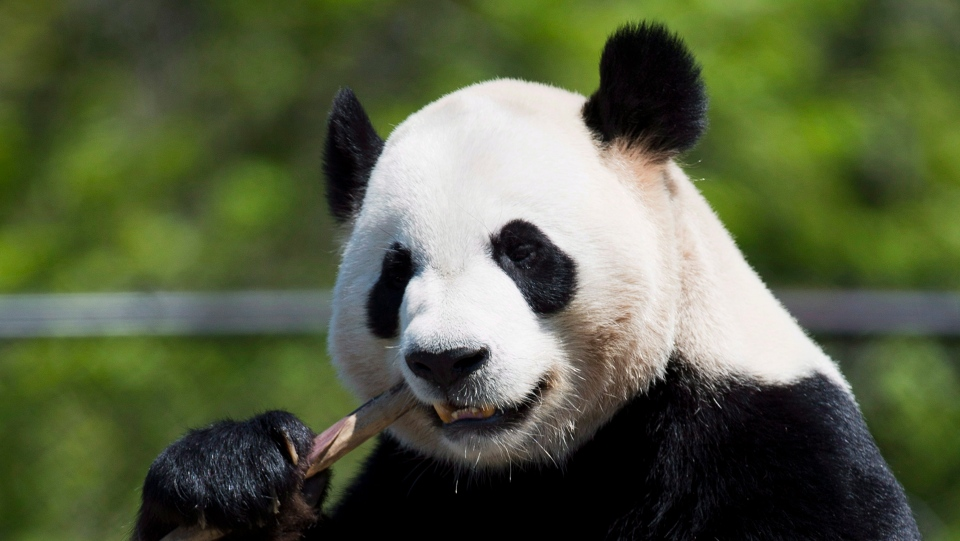 Da Mao eats bamboo at the Toronto Zoo on Thursday, May 16, 2013. THE CANADIAN PRESS/Nathan Denette