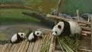 Pandas on plane bound for Calgary