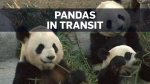Toronto's beloved pandas FedExed to Calgary