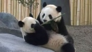 Calgary Zoo's new star attraction