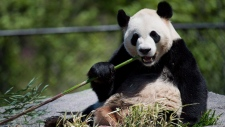 CTV National News: Panda express heads west