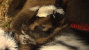 Following a weekend water main break, the Beacon Hill Children's Farm reopened Monday with three new day-old baby goats named Pumpkin, Kale and Squash. March 26, 2018. (CTV Vancouver Island)