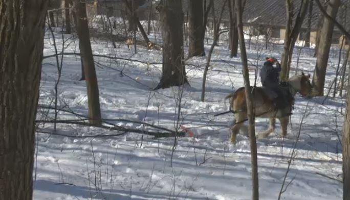 Belgian draft horses pull tree branches out of the woods on Mount Royal.
