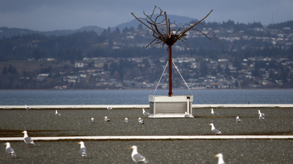A fake tree on top of the Greater Victoria Harbour Authority building was recently built to attract nesting eagles and to scare off the seagulls who are causing problems for buildings at Ogden Point in Victoria, B.C., on Wednesday, March 28, 2018. THE CANADIAN PRESS/Chad Hipolito