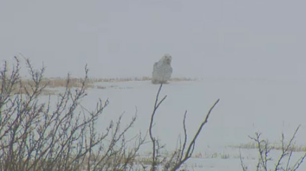 Snowy owl released