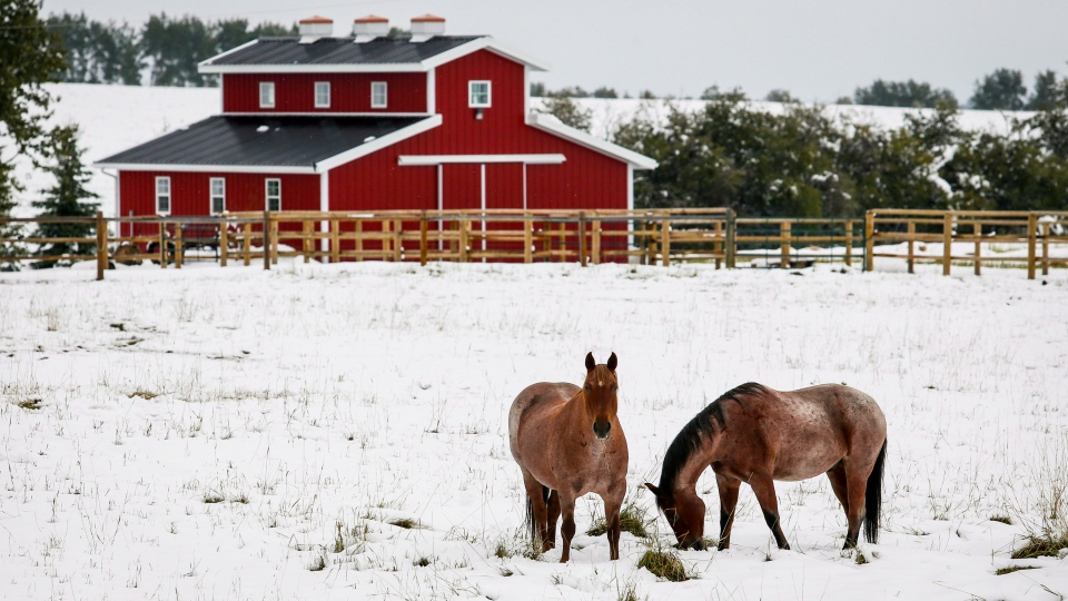 Horses graze a snow covered pasture on a farm near Cremona, Alta., Wednesday, Sept. 10, 2014. (THE CANADIAN PRESS/Jeff McIntosh)