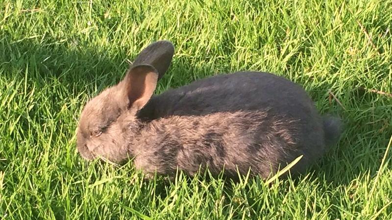 Rabbit disease
