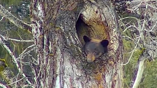 Sleepy bear snuggled in tree draws fans via live webcam