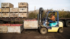 Loading apples at an orchard in Tieton, Wash.