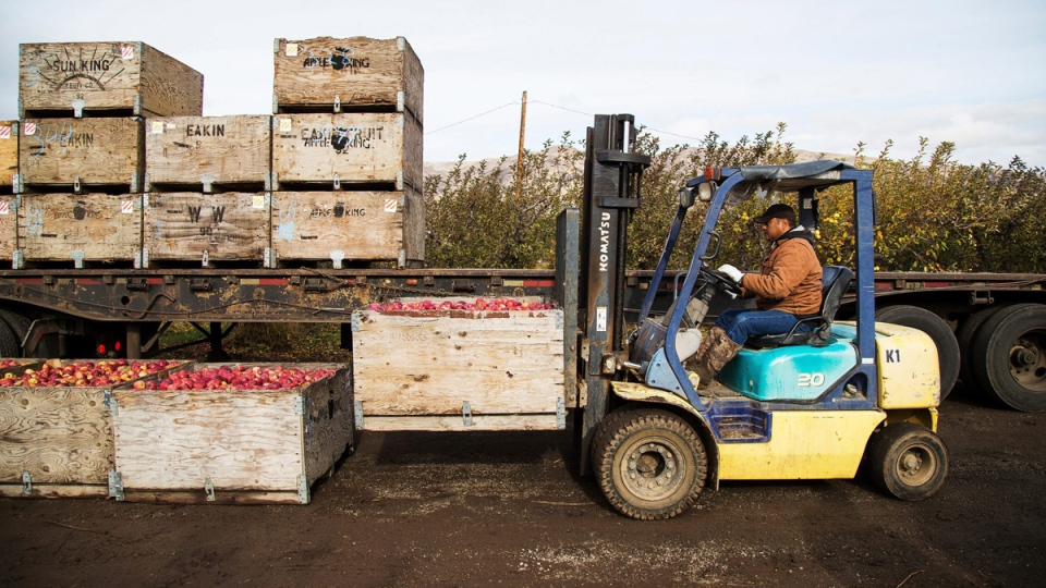 Loading boxes of Red Delicious apples on to a trailer at an orchard in Tieton, Wash., on Nov. 14, 2017. (Shawn Gust / Yakima Herald-Republic via AP)