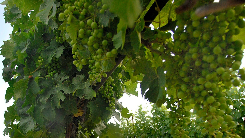 Grapes are shown on Wednesday July 16, 2008 in Vineland, Ont. THE CANADIAN PRESS/Sheryl Nadler