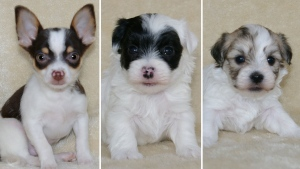 RCMP say the three missing puppies, seen here, were stolen from a farm in Estey's Bridge, N.B. on Tuesday. (Source: RCMP)