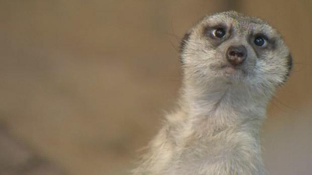 One of Assiniboine Park Zoo's five meerkats glimpses towards a CTV News camera.