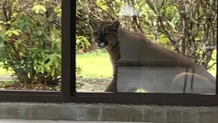 port hardy cougars personals Anyone at the port hardy hospital was able to get a close view of a cougar that was sitting outside the building.