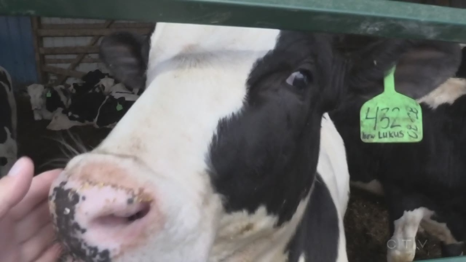 Cow from Acres of Dreams Farms in Timmins