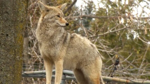 Since June, there have been 379 coyote sightings in Montreal. (File)