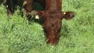 F2F: Ontario Corn Fed Beef