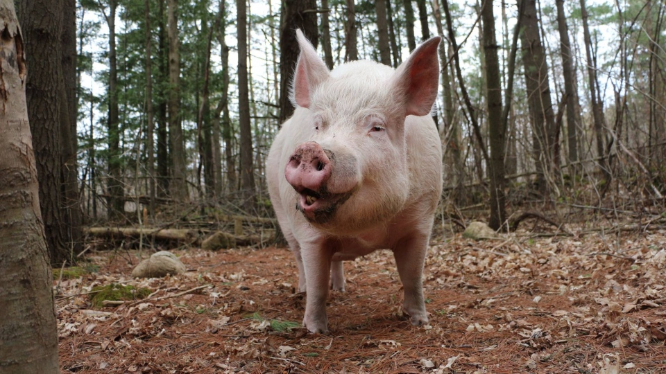 Esther the Wonder Pig is shown in this photo from the Esther the Wonder Pig Facebook page.