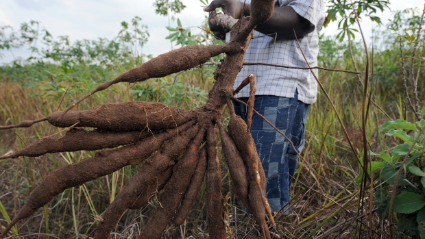 Researchers warn 'Ebola for plants' hitting Africa's cassava crop