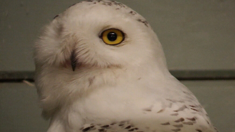 Snowy owls are being treated by Shades of Hope Wildlife Refuge in Pefferlaw after being hit by cars in Bradford area.