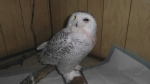 Surge of snowy owls