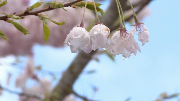 cherry blossom festival continues ctv news. Black Bedroom Furniture Sets. Home Design Ideas