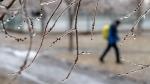 A man walks through a park following freezing rain Monday, April 16, 2018 in Montreal. (Paul Chiasson  / THE CANADIAN PRESS)