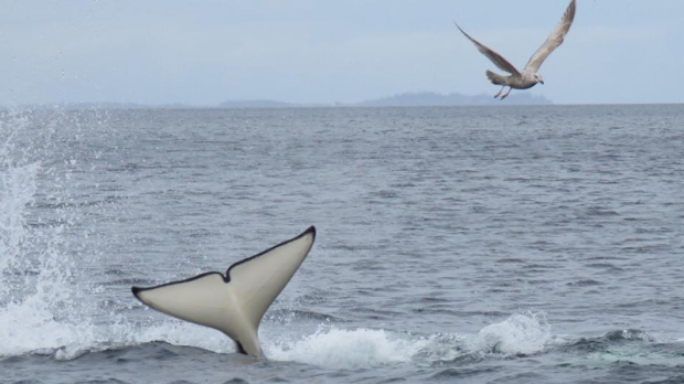 A keen wildlife watcher managed to capture a pod of transient orcas hunting a sea lion off Hornby Island over the weekend. (West Coast Wildlife/Louis Jobidon)