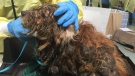 The dogs, all Havanese or Havanese-cross, were matted with feces and urine and exposed to high levels of ammonia in the home they were living in, the BC SPCA said.
