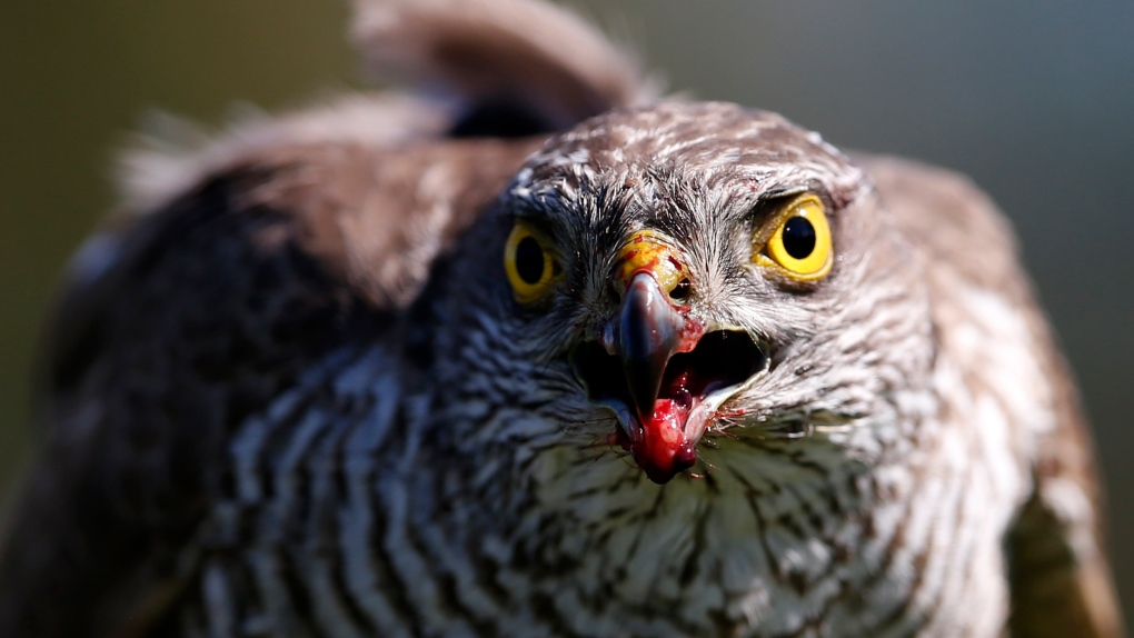 City hires trained hawk to keep birds away from buildings