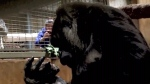 CTV News Channel: Zoo welcomes baby gorilla