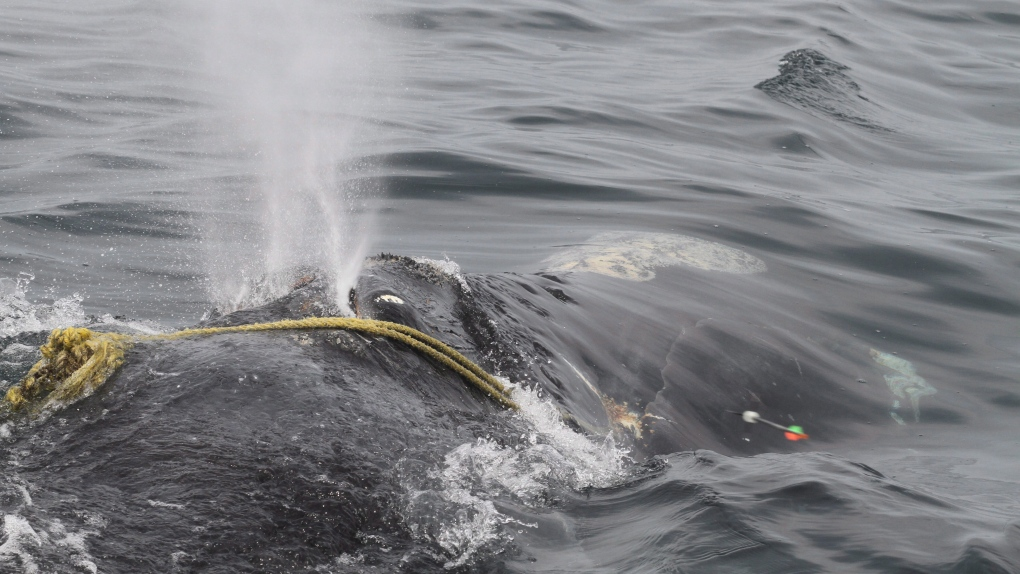 Fourth right whale snarled in fishing lines spotted in Gulf of St. Lawrence