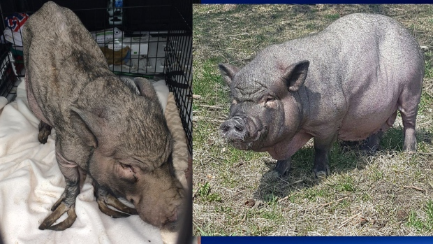 Tulla the Pig