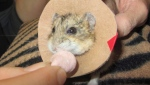 "A dwarf hamster named ""Mr. Nibbles"" receives a treat after waking up from surgery at the New Perth Animal Hospital in New Perth, P.E.I. in this undated handout photo. THE CANADIAN PRESS/HO, New Perth Animal Hospital"
