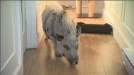 "Babe, a 25-kilo pot-bellied pig, is part of the Ramos family. Owner Mario says he's ""intelligent, affectionate, [and] very friendly."" (CTV Montreal)"
