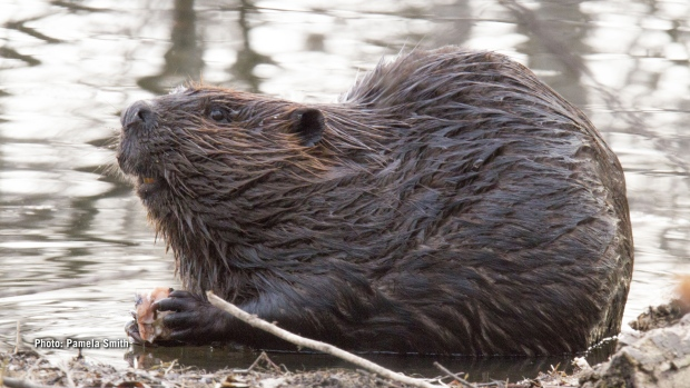 Beaver at Mud Lake. (Pamela Smith/CTV Viewer)