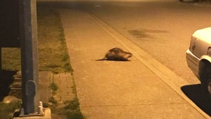 The beaver was last seen waddling down Sun Valley Drive on April 18. (Courtesy Jessica Boyd)