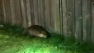 Culprit in Nanaimo break-in turns out to be beaver