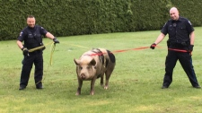 Fearing she would head straight to the nearby Pat Bay Highway, Saanich police took matters into their own hands and used straps to wrangle a pig on the loose. April 20, 2018. (Twitter/@SaanichPolice)