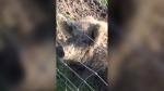 Wooly pig