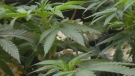 Inside a Kitchener marijuana producer